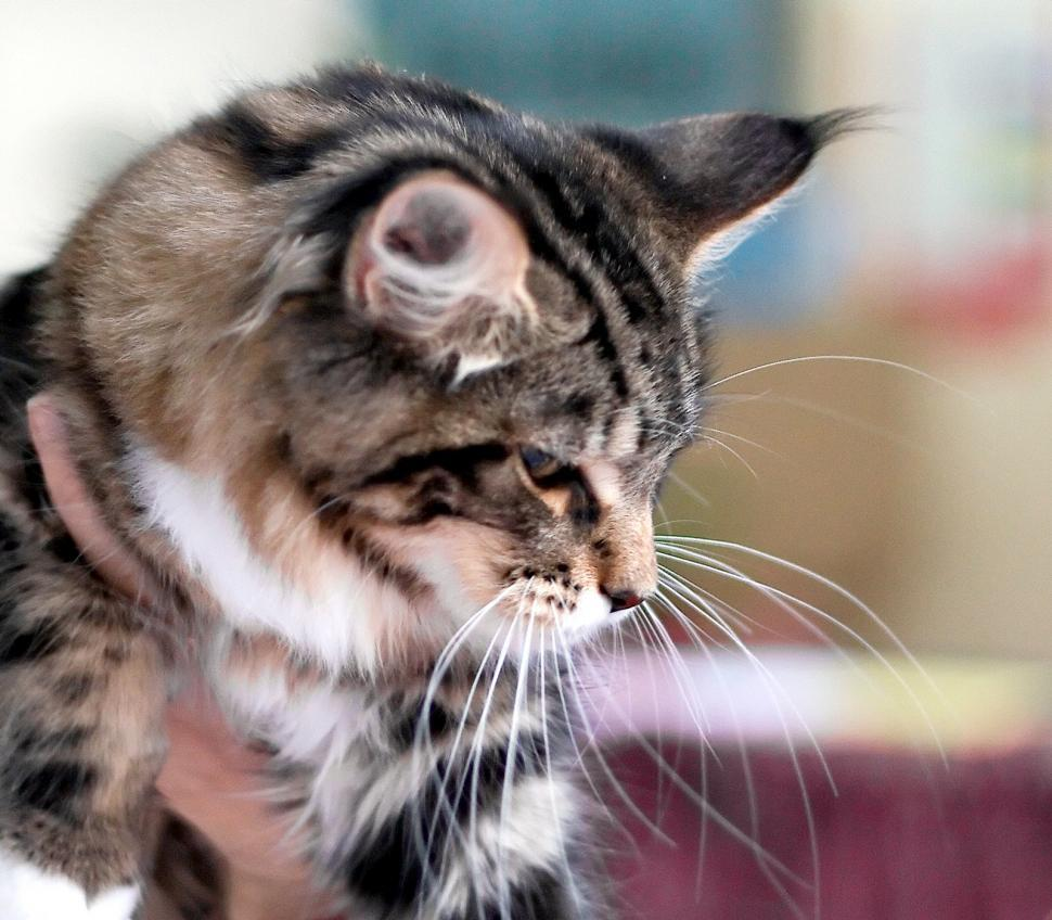 Download Free Stock HD Photo of Norvegian cat portrait Online