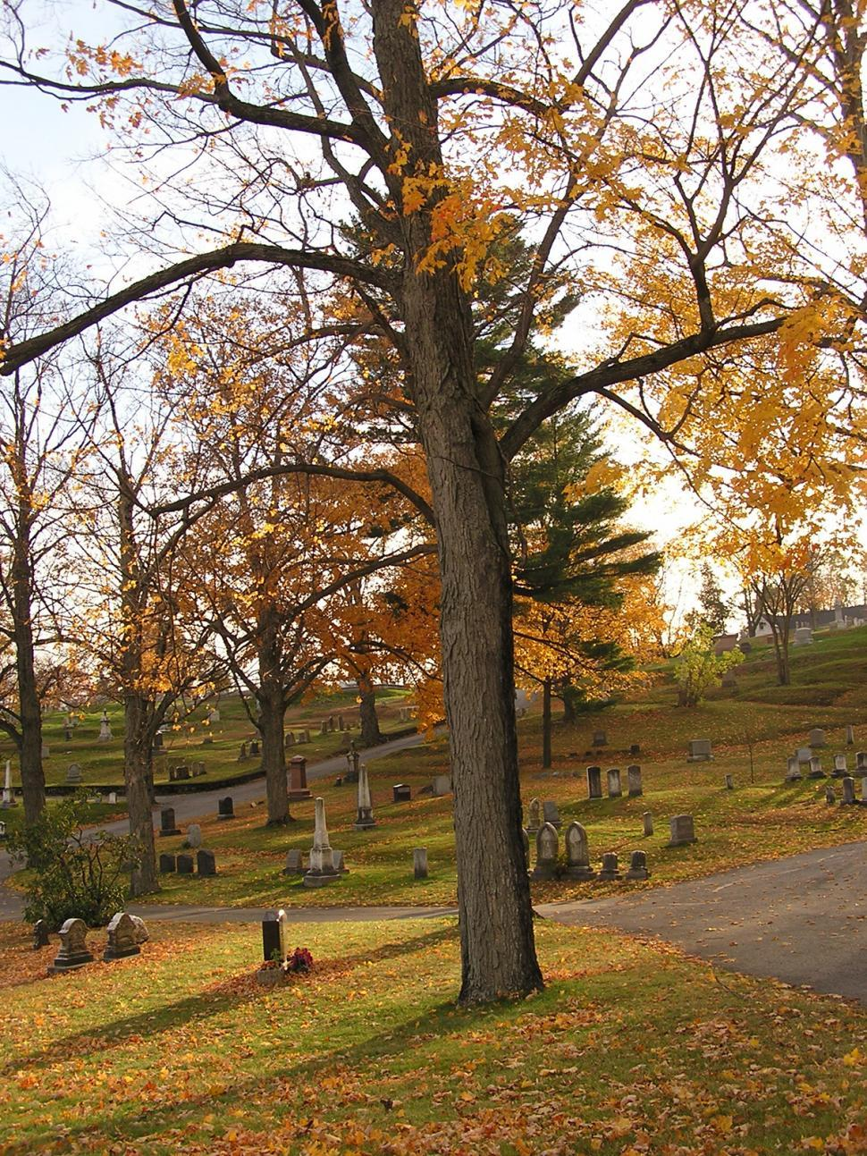 Download Free Stock Photo of Oak tree in the cemetery