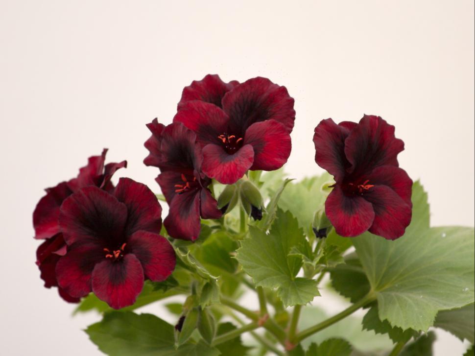 Download Free Stock Photo of Velvet flowers