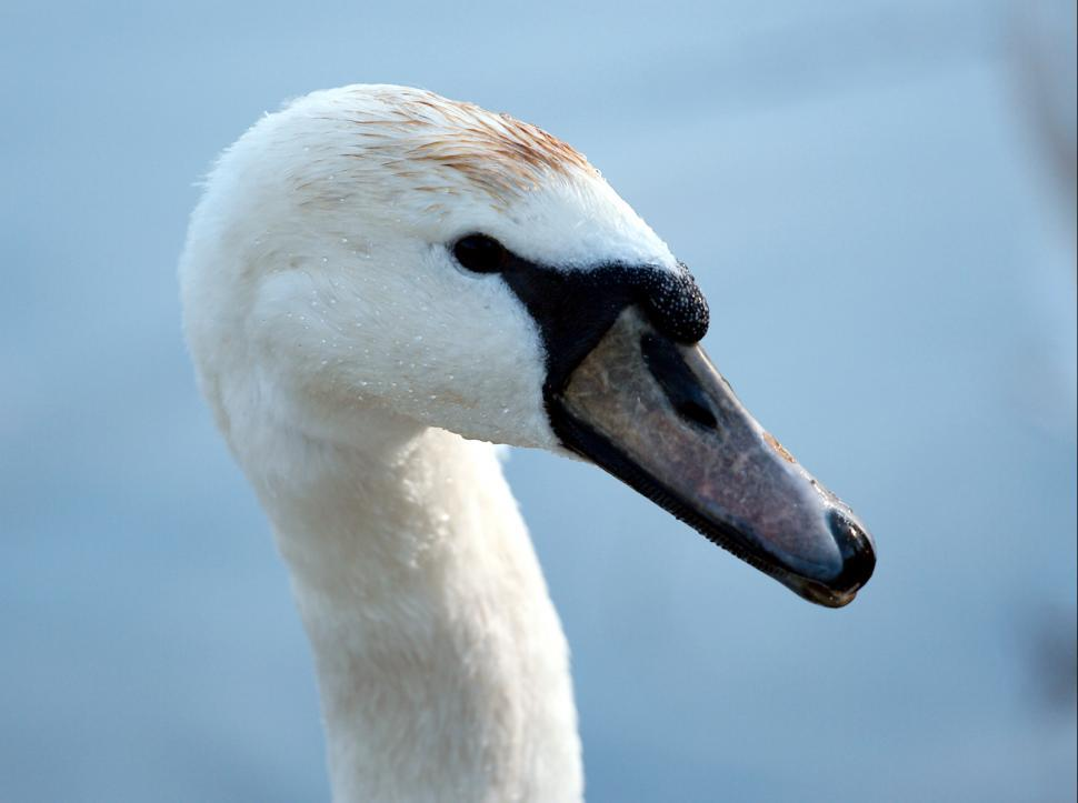 Download Free Stock HD Photo of The swan portrait Online
