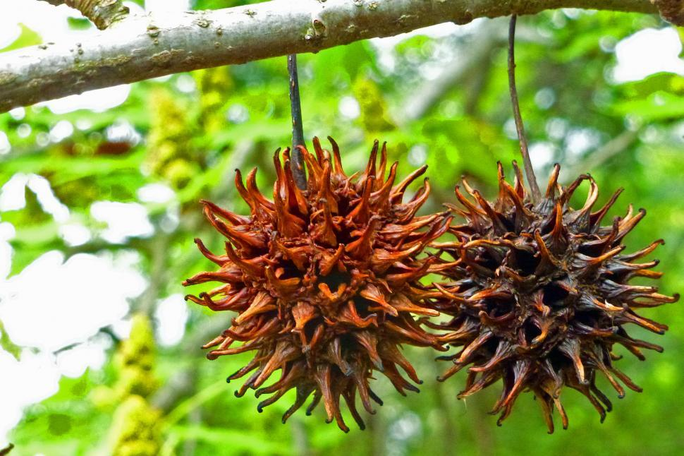 Download Free Stock HD Photo of Sweet Gum Tree Seeds Online