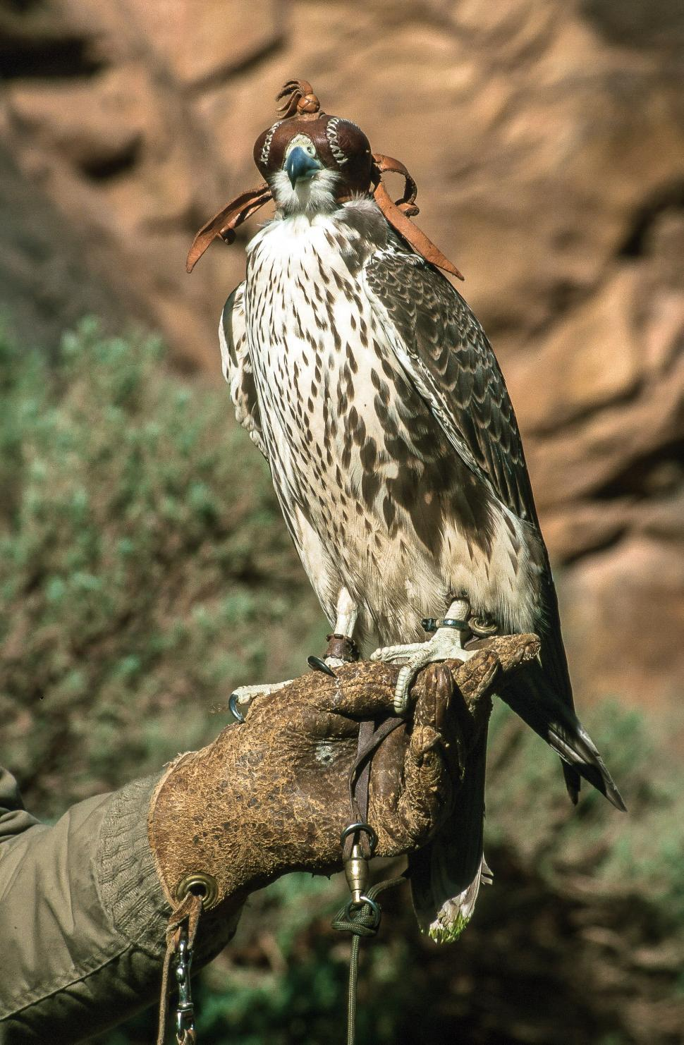 Download Free Stock Photo of Prairie falcon hooded