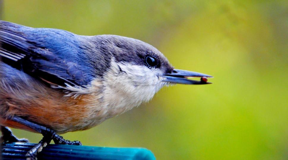 Download Free Stock Photo of jay corvine bird bird brambling finch