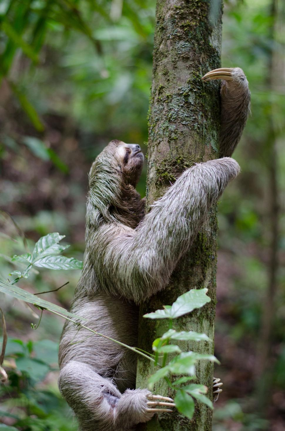 Download Free Stock Photo of three-toed sloth sloth mammal