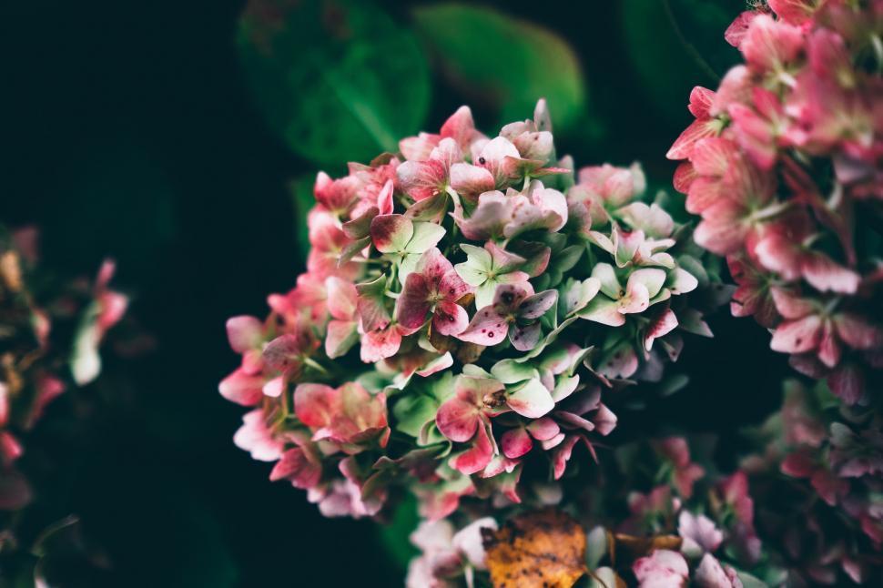 Download Free Stock Photo of flower shrub lilac plant blossom floral pink petal flowers spring rose garden blooming leaf season bloom color flora