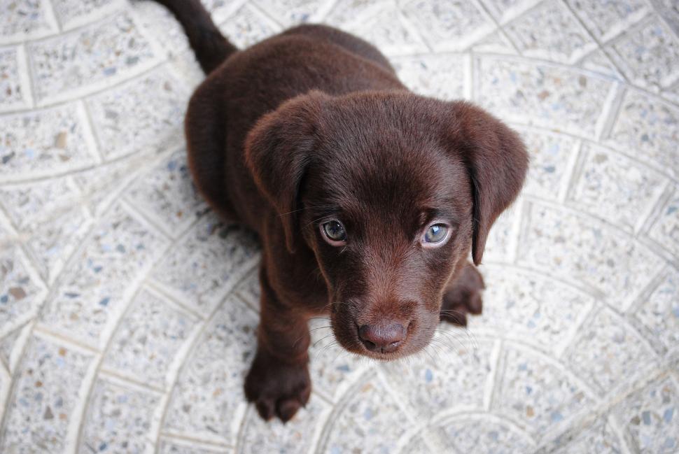 Download Free Stock Photo of sporting dog retriever german short-haired pointer hunting dog pointer dog labrador retriever chesapeake bay retriever puppy animal