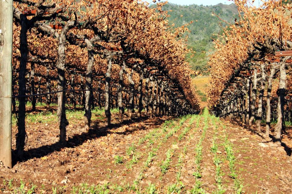 Download Free Stock Photo of planting agriculture grape vine california sonoma fall hillside hills rows vineyard crop grapes