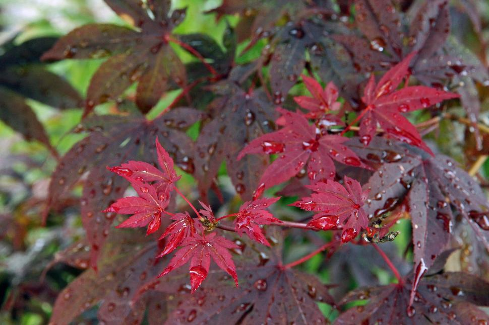 Download Free Stock HD Photo of Japanese Maple Bloodgood Wet Leaves Online