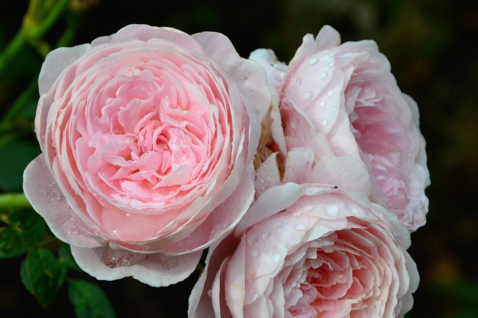 Download Free Stock Photo of English rose 'Queen Of Sweden'