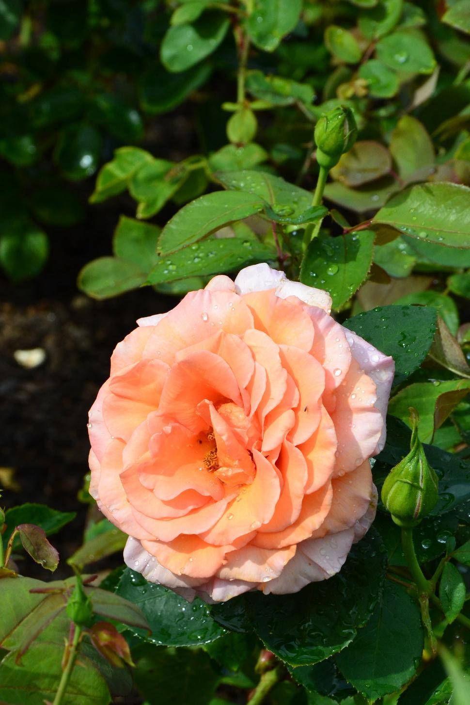 Download Free Stock Photo of Rose 'Warm Wishes'