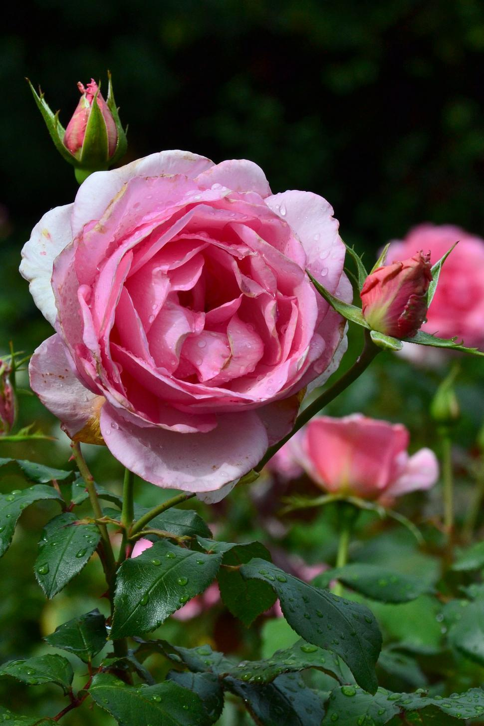 Download Free Stock Photo of Rose 'Westminster Pink'