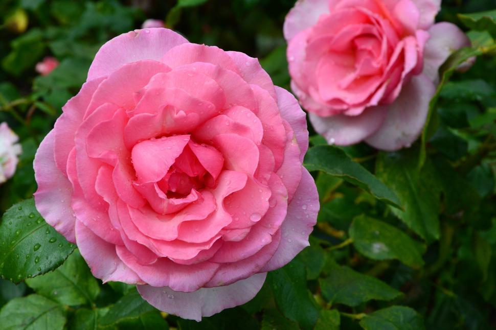 Download Free Stock HD Photo of Hybrid tea rose 'Westminster Pink'  Online