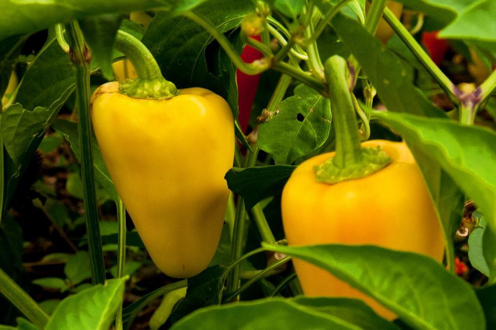 Download Free Stock HD Photo of Yellow Bell Peppers Online