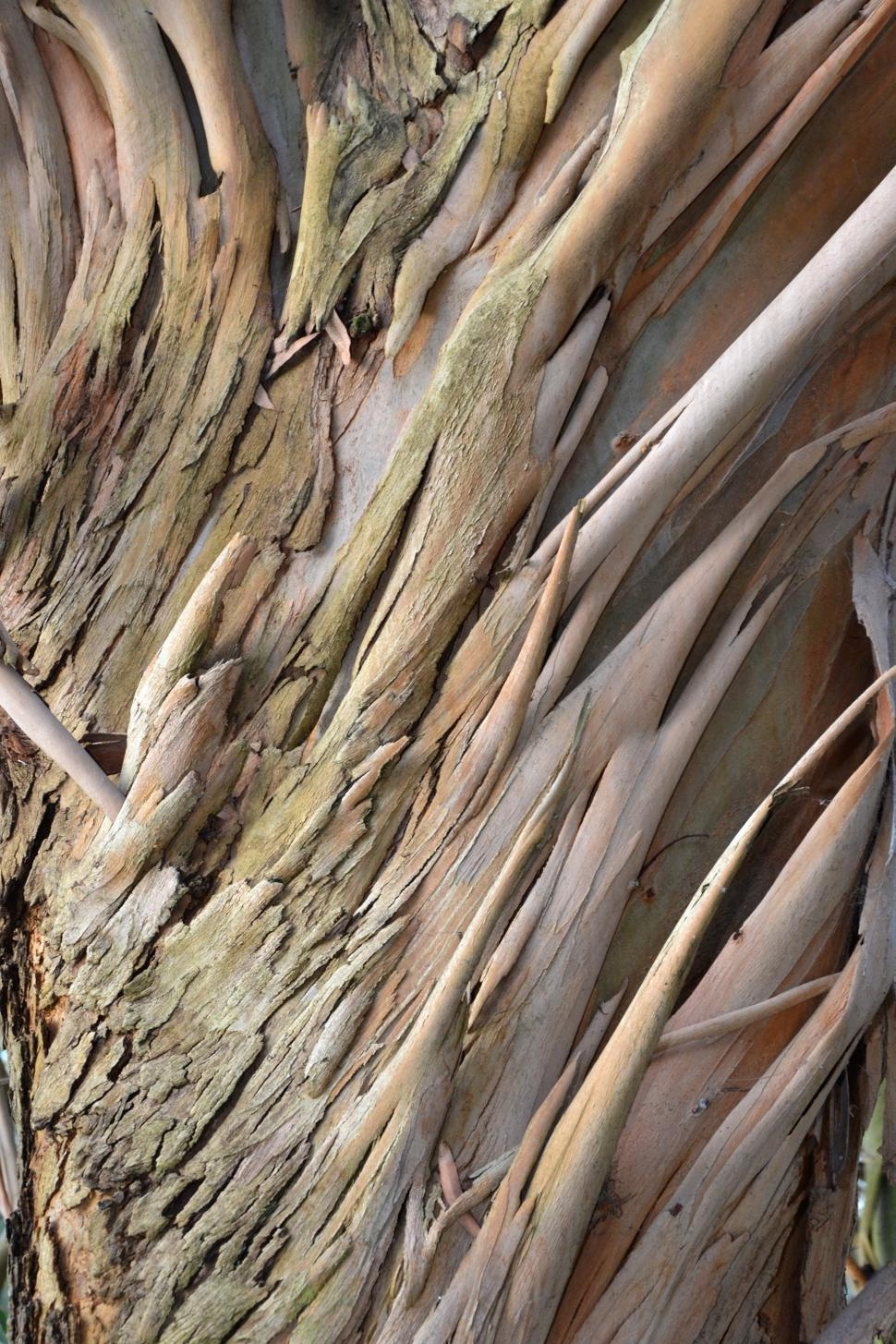 Download Free Stock Photo of Eucalyptus perriniana bark