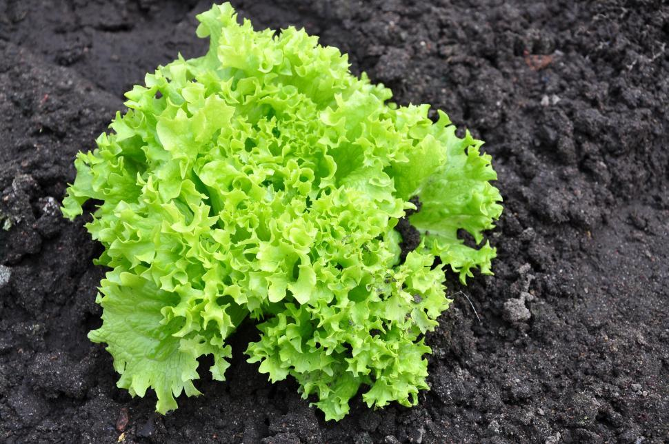 Download Free Stock HD Photo of Lettuce in the garden Online