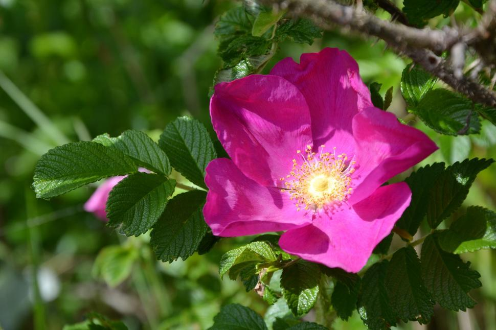 Download Free Stock HD Photo of Rugosa rose  Online