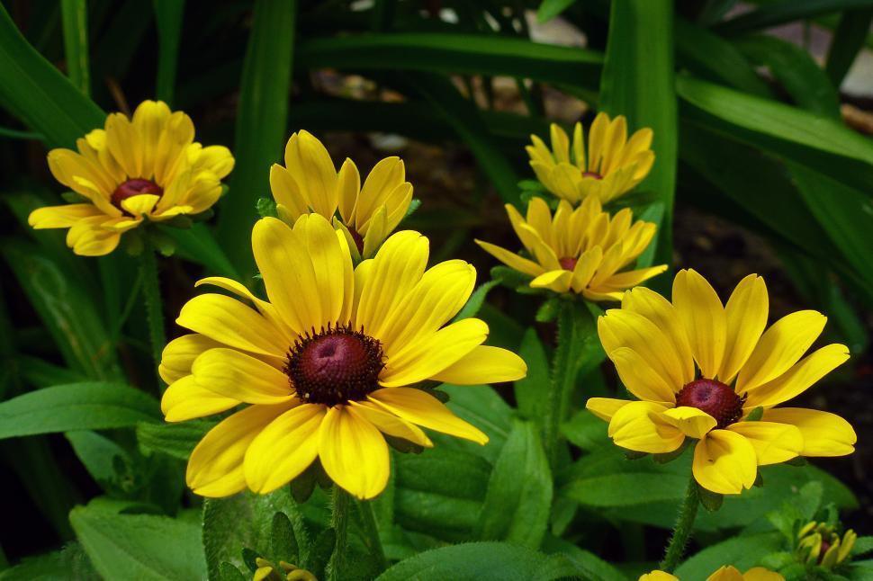 Download Free Stock Photo of Black-Eyed Susan Flowers in Bloom