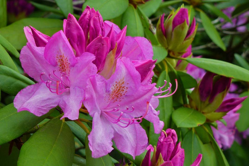 Download Free Stock HD Photo of Pink Rhododendron Blooms Online
