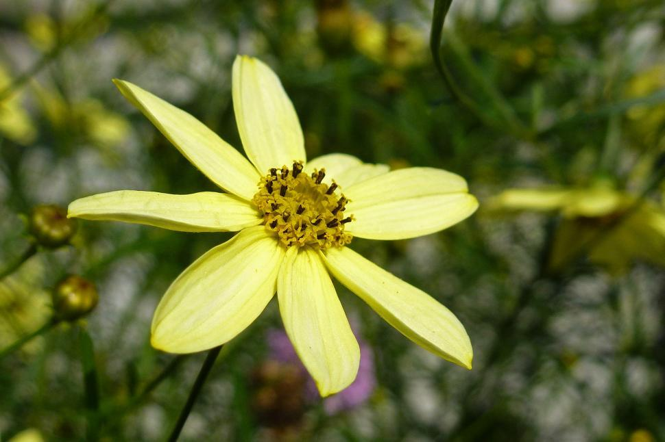 Download Free Stock HD Photo of Yellow Coreopsis Flower Closeup Online
