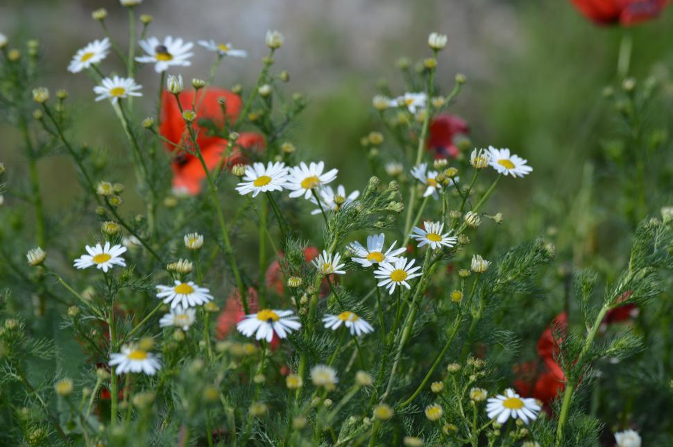 Download Free Stock Photo of Red Poppy and White Chamomile flowers in the green field