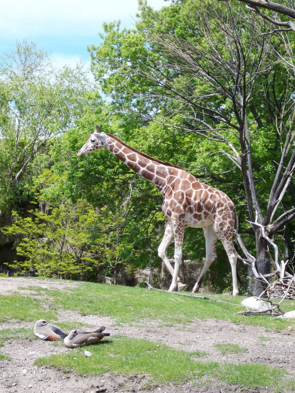 Download Free Stock Photo of Giraffe