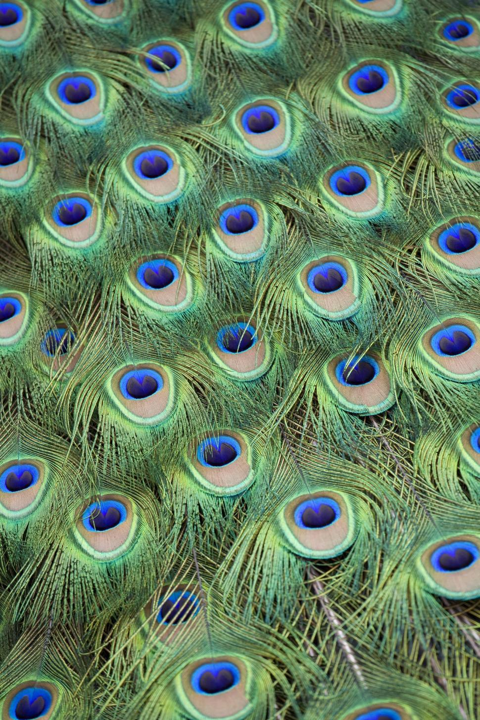 Download Free Stock HD Photo of Peacock Tail Feathers Online