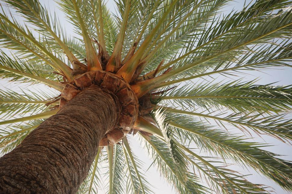 Download Free Stock Photo of Palm tree canopy of fronds
