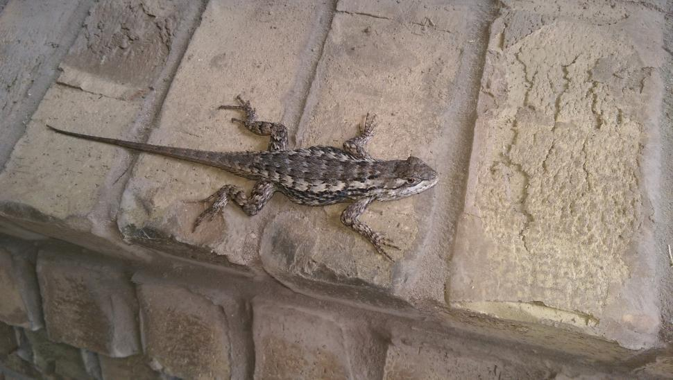Download Free Stock Photo of Texas Spiny Lizard