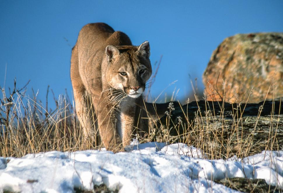 Download Free Stock HD Photo of Mountain Lion Online