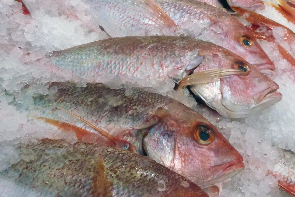 Download Free Stock Photo of Red Snapper on Ice