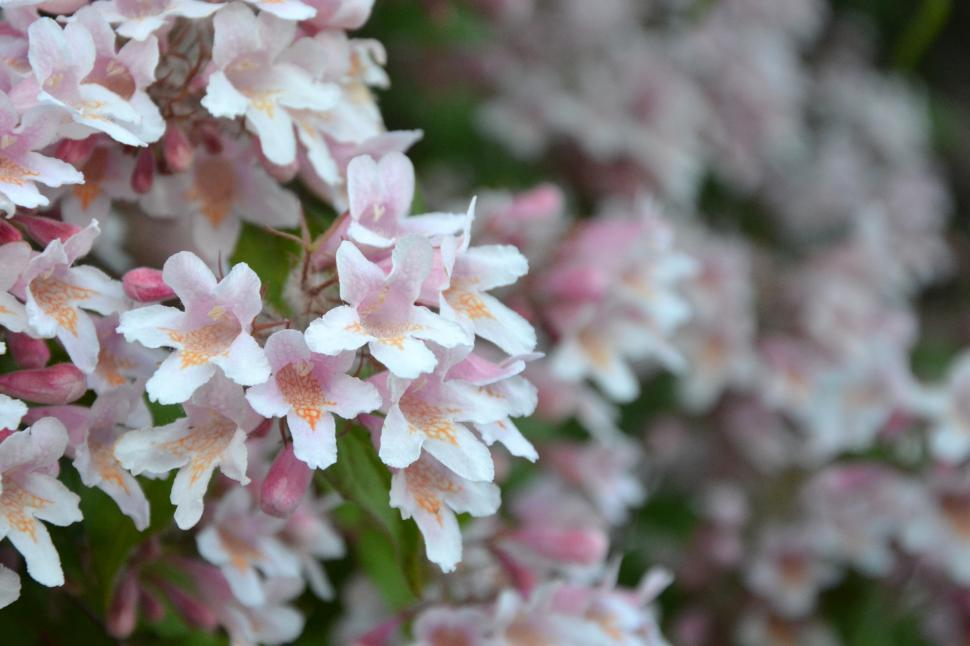 Download Free Stock Photo of Flowers of the beauty bush