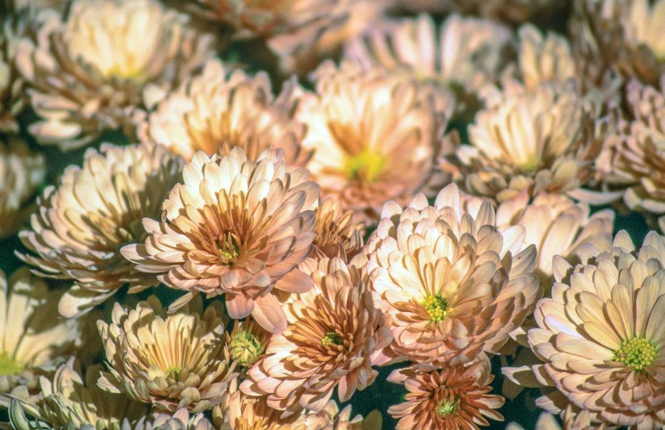Download Free Stock Photo of Aster flowers