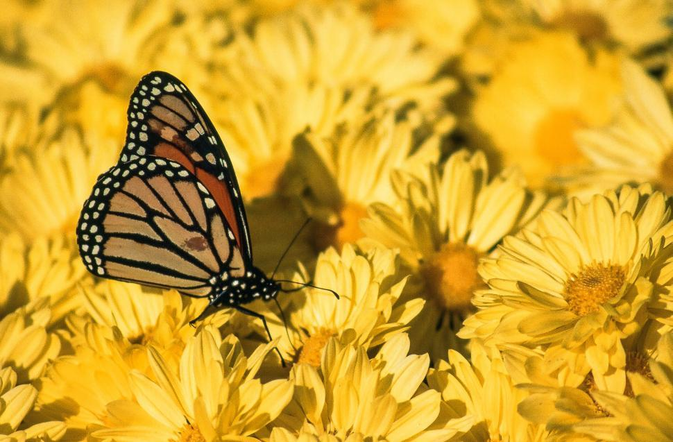 Download Free Stock Photo of Monarch butterfly on yellow
