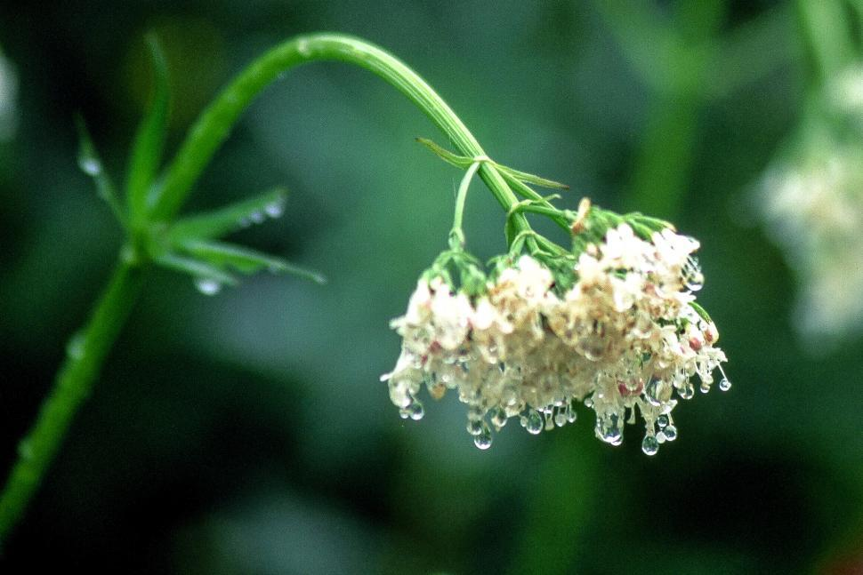 Download Free Stock HD Photo of Valerian Flowers Online