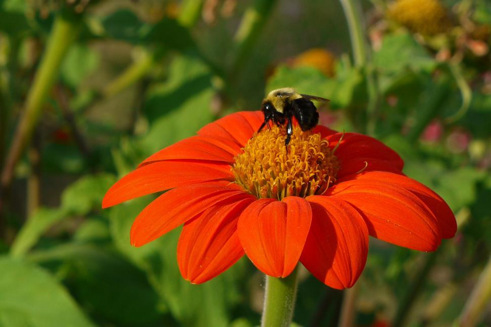 Download Free Stock Photo of Mexican Sunflower and Honey Bee