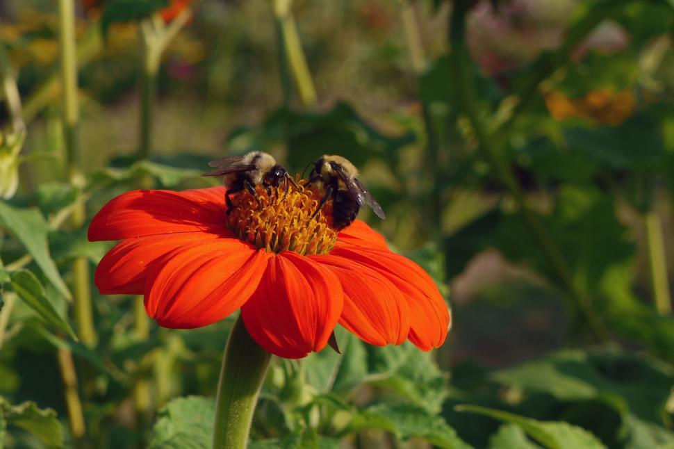 Download Free Stock Photo of Mexican Sunflower and Honey Bees