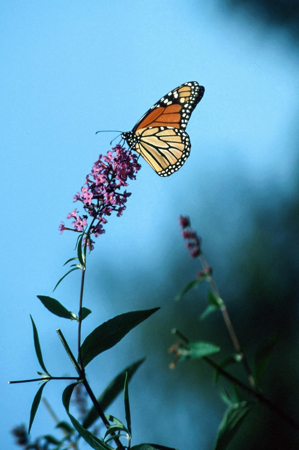 Download Free Stock HD Photo of Monarch butterfly Online