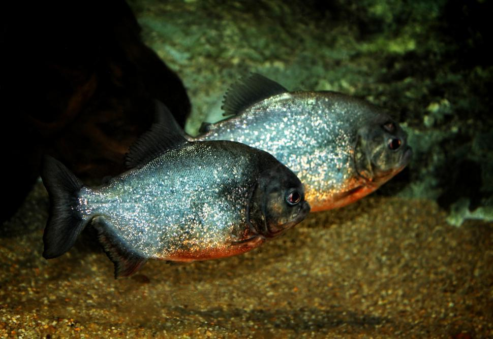 Download Free Stock HD Photo of Red-bellied Piranhas - Tropical Fishes Online