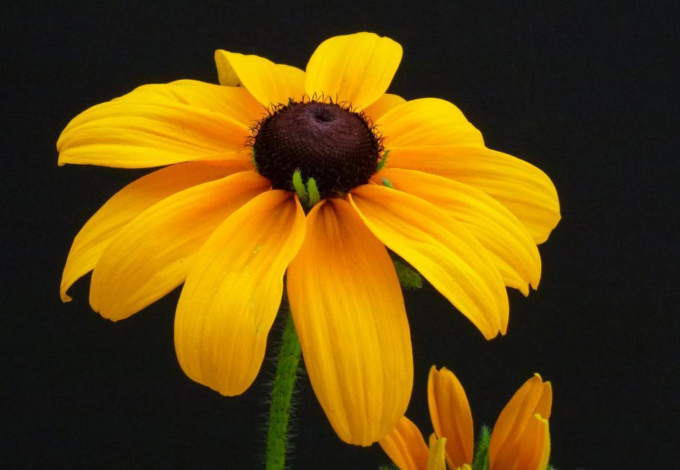 Download Free Stock Photo of Black-eyed Susan With Black Background