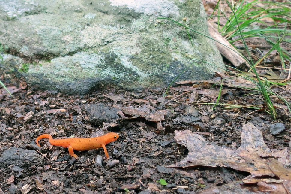 Download Free Stock Photo of Red Spotted Newt