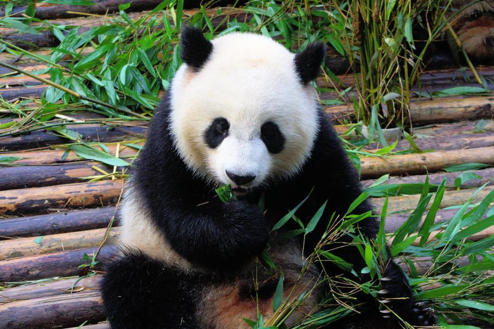 Download Free Stock Photo of Panda