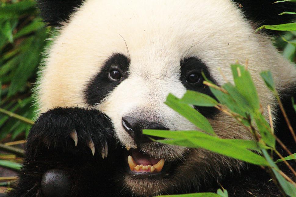 Download Free Stock Photo of Panda bear eating