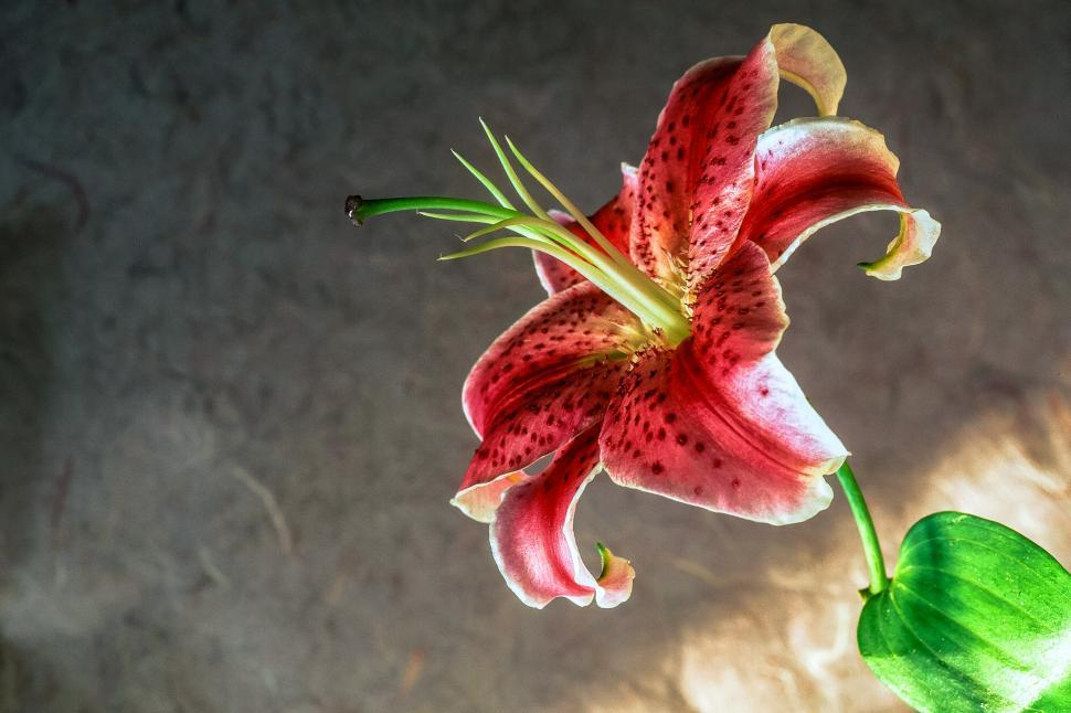 Download Free Stock HD Photo of Daylily Flower Online