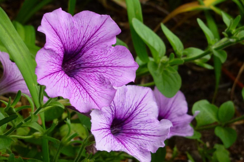 Download Free Stock Photo of Petunia Flowers