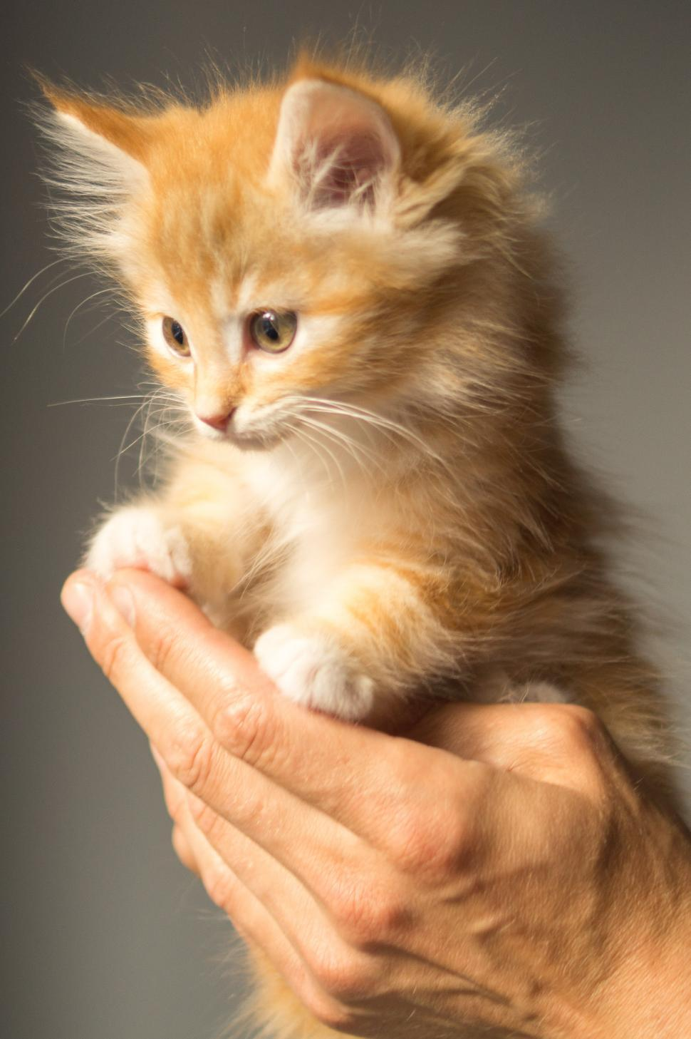 Download Free Stock Photo of Cute orange kitten