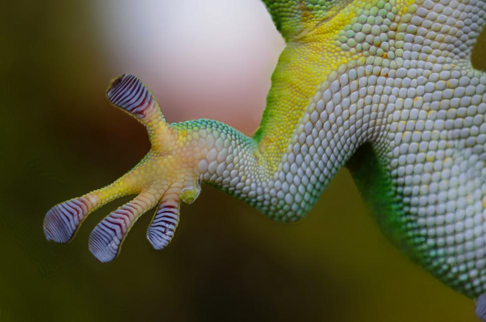 Download Free Stock Photo of chameleon lizard starfish person echinoderm african chameleon invertebrate animal