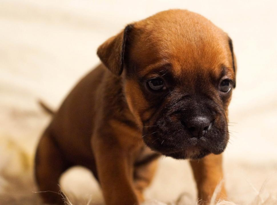 Download Free Stock Photo of Cute boxer puppy