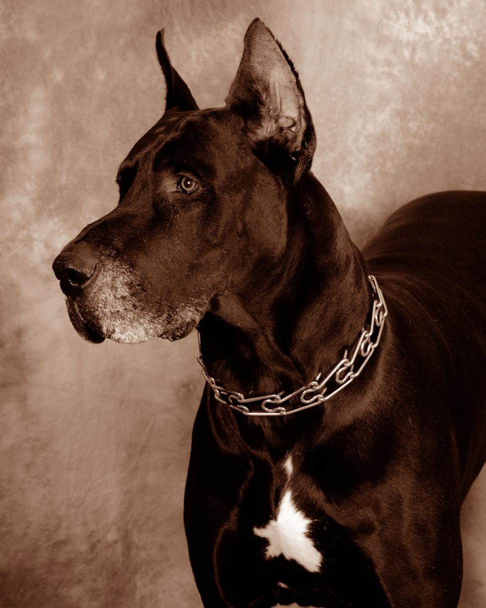 Download Free Stock HD Photo of Great Dane Online