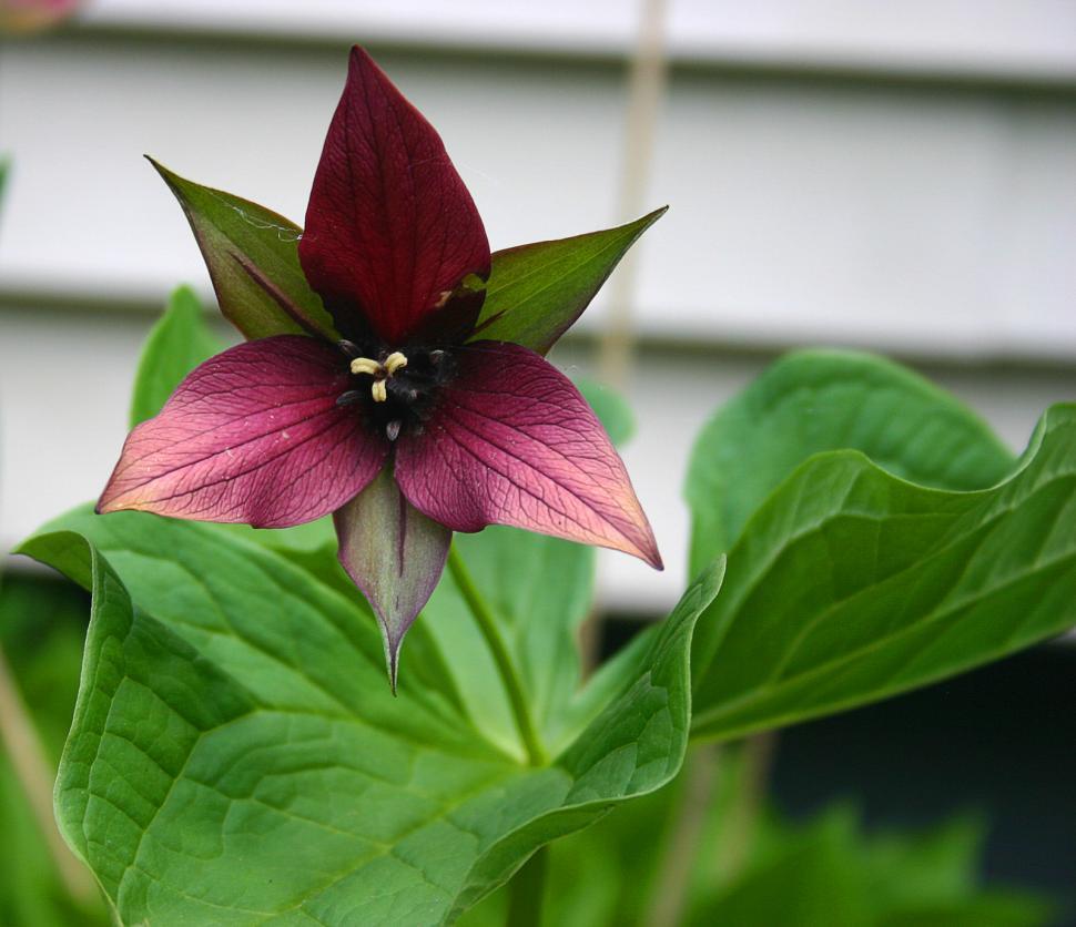 Download Free Stock HD Photo of 3 petal flower Online