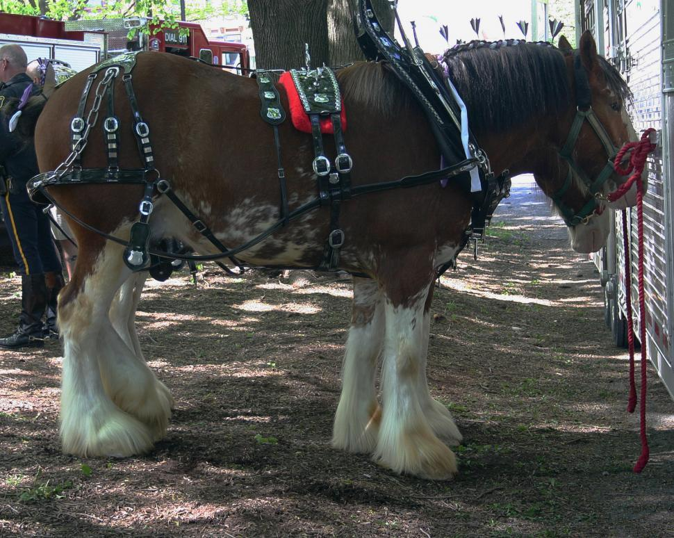 Download Free Stock Photo of Clydesdales